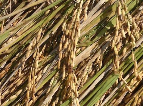 the origins of rice tagalog version Rice is the staple food of filipinos, and because of this this, we have many stories about rice plants or palay  back to tagalog main page.